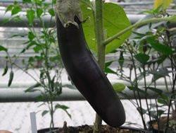 H11 Aubergine Lange Violette  / Melonga BIO-Gemüsepflanze