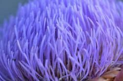 H04 BIO-Pflanze Artischocke
