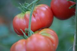 BIO-Pflanze Fleisch-Tomate Tecoh Teepee Alte Tomatensorte