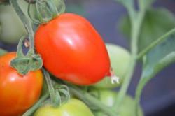 BIO-Pflanze Pflaumen-Tomate Plum Producer Alte Tomatensorte