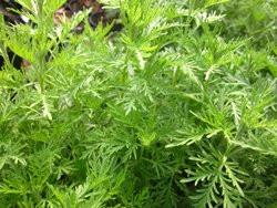 FL1 Zitronen-Eberraute BIO Heilkräuter Pflanze