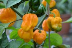 C BIO-Pflanze Chili sehr scharf Habanero Big Sun
