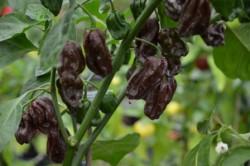 C BIO-Pflanze Chili sehr scharf Habanero Schoko