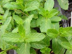 F2/H9 BIO-Kräuterpflanze Minze Marokko