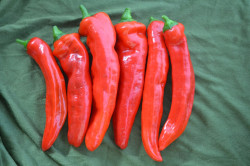BIO-Samen Dulce italiano Spitzpaprika süß