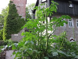 BIO-Kräuterpflanze Engelwurz, Erzengelwurz