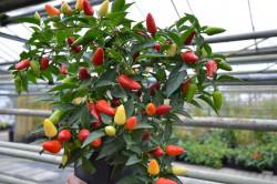 BIO-Samen Chili mittelscharf Roter italienischer Topfchili