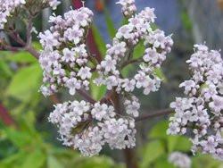BIO Heil-Kräuter-Pflanze Baldrian