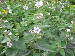 FL1 Edelweiß BIO Heilkräuter-Pflanze