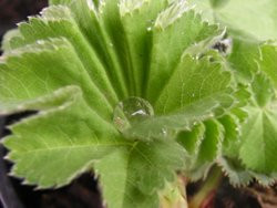 FL1 Frauenmantel BIO Heilkräuter-Pflanze