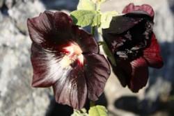 H6 Schwarze Malve, Stockrose Nigra BIO Heilkräuterpflanze