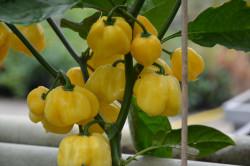 BIO-Samen Chili sehr scharf Trinidad Scorpion weiß