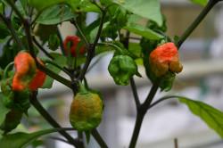 BIO-Samen Chili sehr scharf Carolina Reaper
