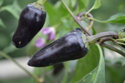 C BIO-Pflanze Paprika süß Marconi Purple
