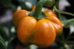 C BIO-Pflanze Paprika süß Tomatenpaprika Gelb
