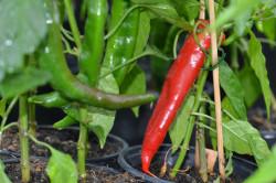 C BIO-Pflanze Chili leicht scharf Ljuta