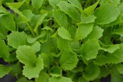 H1 Cima di rapa BIO-Pflanze