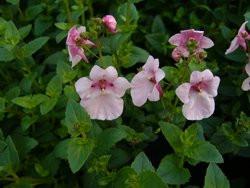 H5 BIO-Blumen Elfensporn Weiß
