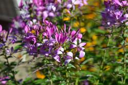 BIO-Blumen Spinnenblume Senorita Rosalita