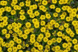 BIO-Blumen Husarenknopf Kompakt wachsend