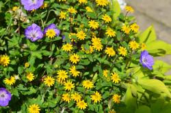 H5 BIO-Blumen Husarenknopf Hängend wachsend