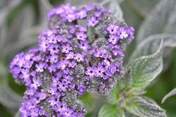 BIO-Blumen Vanilleblume, Heliotrop