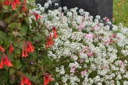 H5 BIO-Blumen Alyssum Weißer Duftsteinerich Snow Prinzess