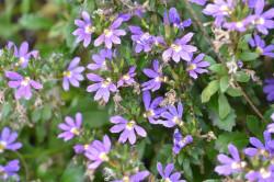 BIO-Blumen Fächerblume blau