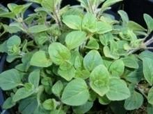 H4 Griechischer Oregano BIO-Kräuter-Pflanze