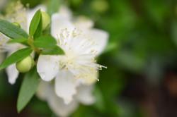 H4 BIO-Kräuterpflanze Brautmyrte