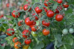 BIO-Pflanze Busch-Tomate Allgäuer Balkontomate