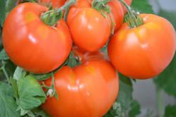 BIO-Samen Tomate Fleisch- Bärentatze