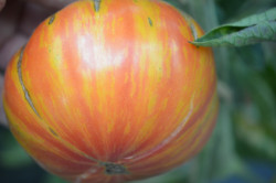 BIO-Samen Tomate Fleisch- Copia
