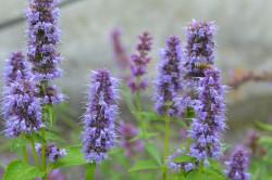 FL2 Anisysop Blue Fortune BIO Duft-Kräuterpflanze