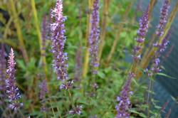 FL1 Anisysop Typ Peine BIO Duft-Kräuterpflanze