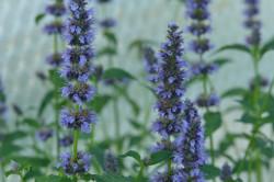 FL1 Anisysop Black Adder BIO Duft-Kräuterpflanze