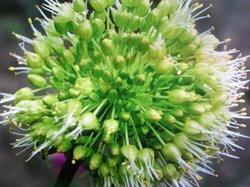 H6 Russischer Knoblauch BIO-Kräuter-Pflanze