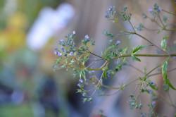 H1 Steinpilzkraut BIO-Kräuterpflanze