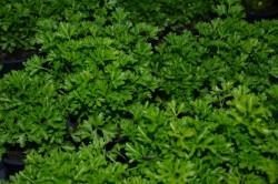 H1 Schnittsellerie Kraus BIO-Kräuterpflanze