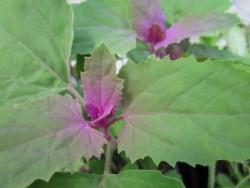 H1 Magentaspinat Bio-Gemüsepflanze