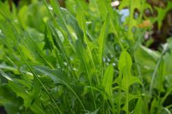 H1 BIO-Gemüsepflanze Catalogna