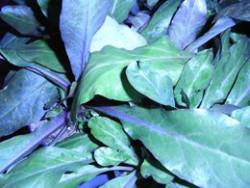 H1 Ausdauerndes Löffelkraut BIO-Kräuterpflanze