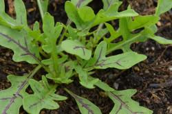 H1 Teufels-Rauke, Rucola Diabolo, BIO-Topfkräuterpflanze