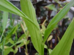 H11 Japanischer Ingwer Myoga 茗荷 BIO-Kräuterpflanze