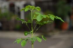 H4 Meerrettich-Baum, Moringa, BIO-Pflanze