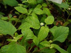 H4 Aztekisches Süßkraut BIO-Pflanze
