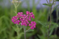 BIO Heilkräuter-Pflanze Schafgarbe rot Kirschkönigin