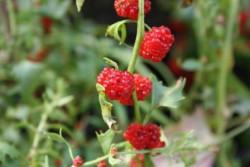 H1 Erdbeerspinat BIO-Pflanze