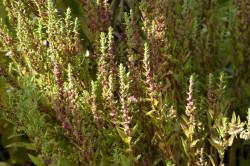 H1 Epazote, Mexikanisches Bohnenkraut, Jesuitentee BIO-Pflanze