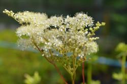 FL1 Mädesüß BIO-Pflanze